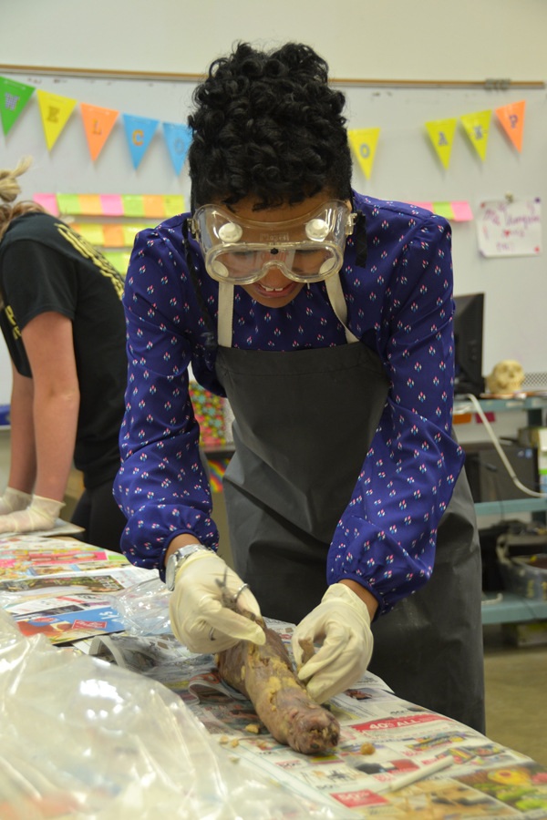 Armed with scissors and a scalpel, senior Mikiah Simmons dissects a mink in her Anatomy class on Monday, April 10.